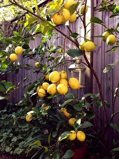 180/365: Our Lemon Tree
