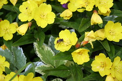 annual plant, flower, large-flowered evening primrose , yellow, narrow-leaved sundrops, plant, wildflower, flora, evening primrose, herbaceous plant,