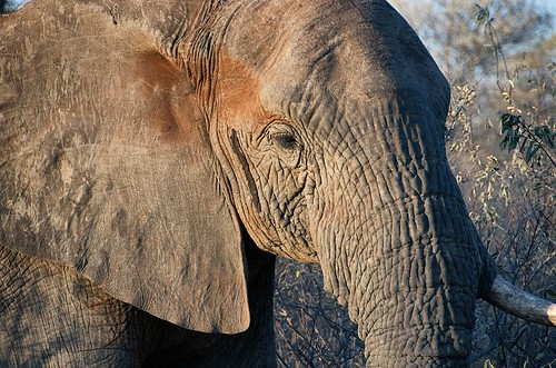 rogersmj posted a photo:We got very close to this young (but battered) elephant and followed him for awhile.