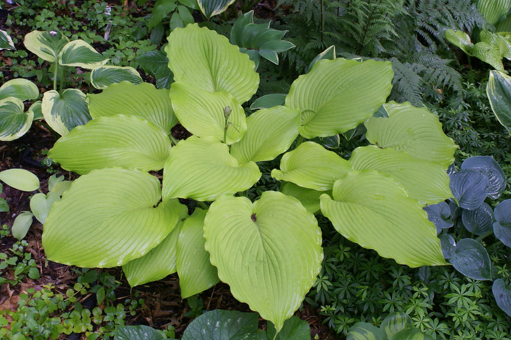 Hosta 'Choo Choo Train' (08)-002