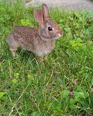 hare(0.0), flower(0.0), animal(1.0), grass(1.0), rabbit(1.0), domestic rabbit(1.0), pet(1.0), fauna(1.0), wood rabbit(1.0), rabits and hares(1.0), wildlife(1.0),