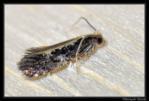 Monopis obviella