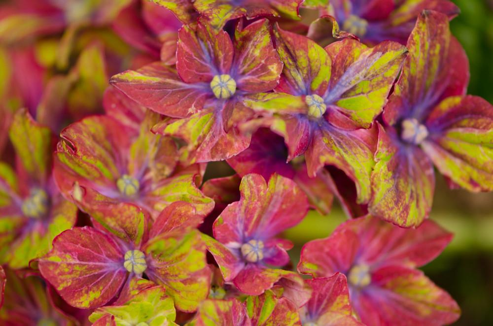 pistacio hydrangea