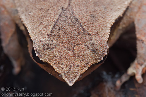 IMG_0181 copy Black Spotted Stick Frog (Kalophrynus pleurostigma)