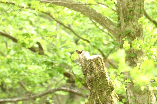 体がミソ色のミソサザイ.とても小さな鳥だが,鳴き声はわりと大きく,長い間さえずりを披露していた.