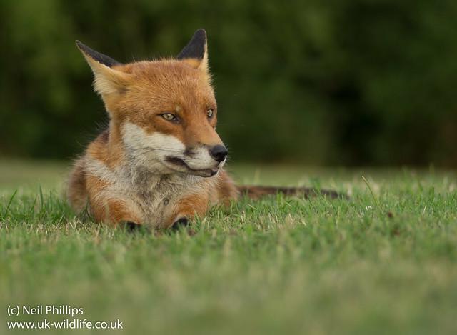 fox lying down-5