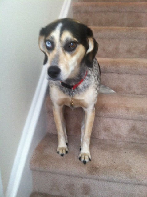 Flickr: The Beagle/Australian Shepherd Mix Dogs Pool
