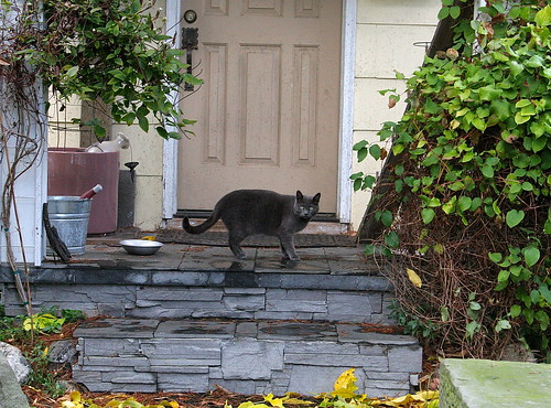 Grey cat on the stoop