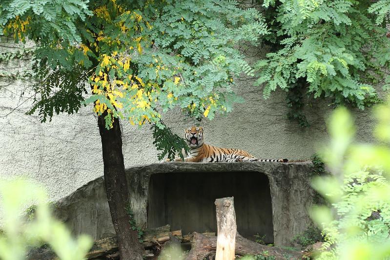 天王寺動物園のトラがおーん