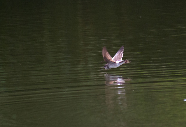 House Martin getting a drink