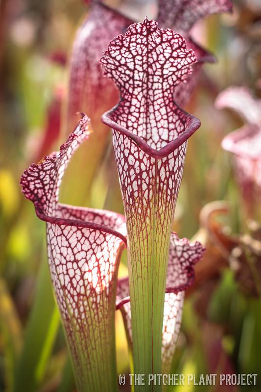 Sarracenia leucophylla - Franklin Co., FL