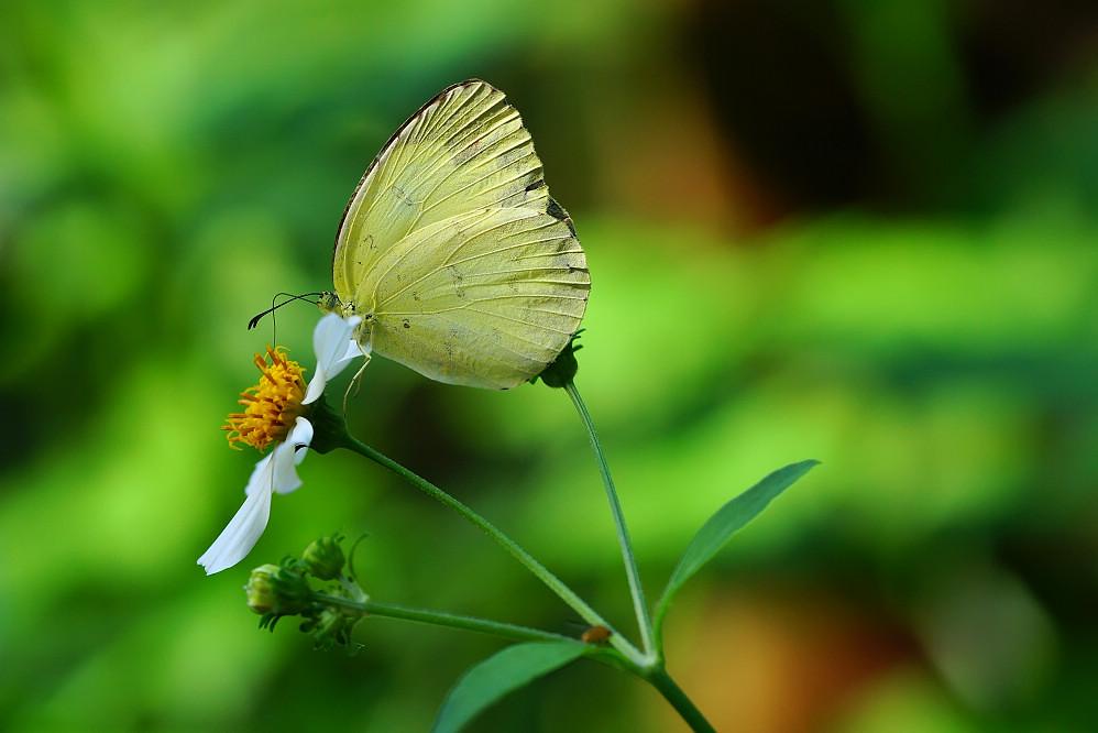 黃蝶屬亮色黃蝶01
