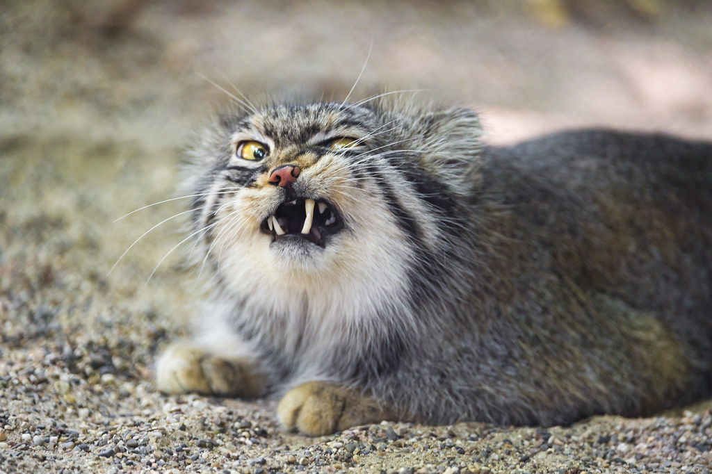 Pallas cat looking angry