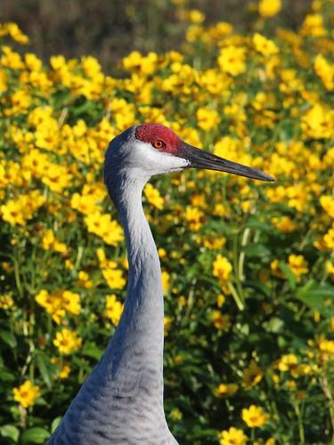 sandhill crane portrait_6963