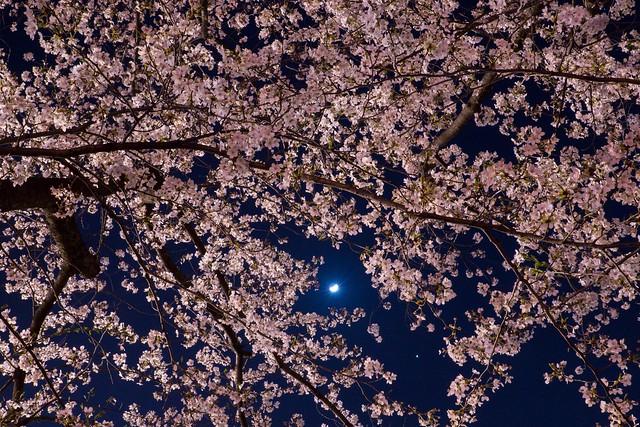 写真_桜の調べ