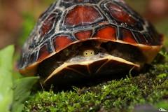 食蛇龜受到干擾時,只會縮進龜殼裡,並無抵抗能力。圖片來源:林哲安