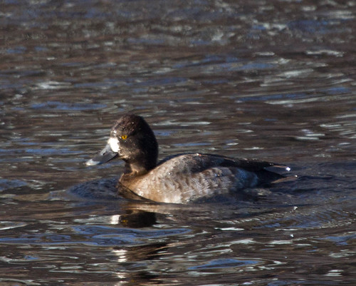 Scaup 3