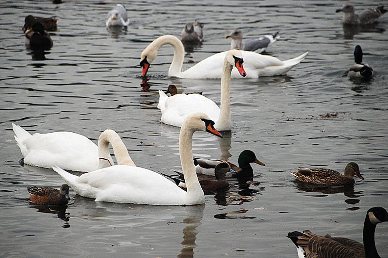Harmonius Congestion on Esquimalt Lagoon in Colwood, Greater Victoria, Vancouver Island, British Columbia