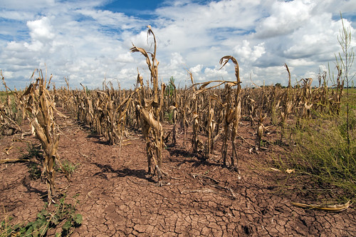 Corn shows the affect of drought in Texas on Aug. 20, 2013. USDA photo by Bob Nichols.