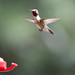 Hummingbird by Chris Ewan