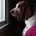 Hound Natural Light Portrait #736 by Warren Parsons