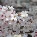 桜 by kosuke_flick