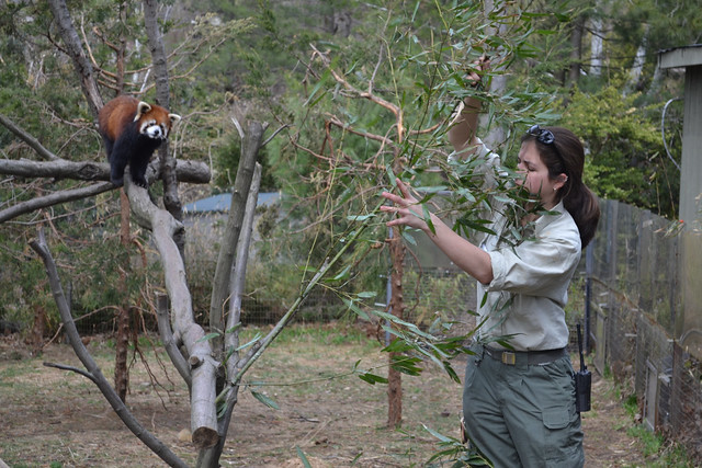 Prospect Park Zoo senior keeper Gwen Cruz brings fresh bamboo from BBG to the red pandas. Photo by Elizabeth Peters.