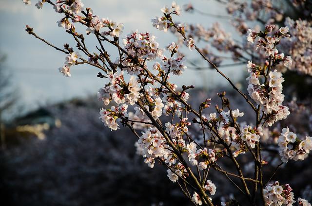 sakura_japan_14-3-3