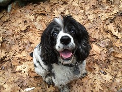 dog breed, animal, dog, pet, mammal, russian spaniel, english cocker spaniel, spaniel, english springer spaniel, cavalier king charles spaniel, american cocker spaniel,