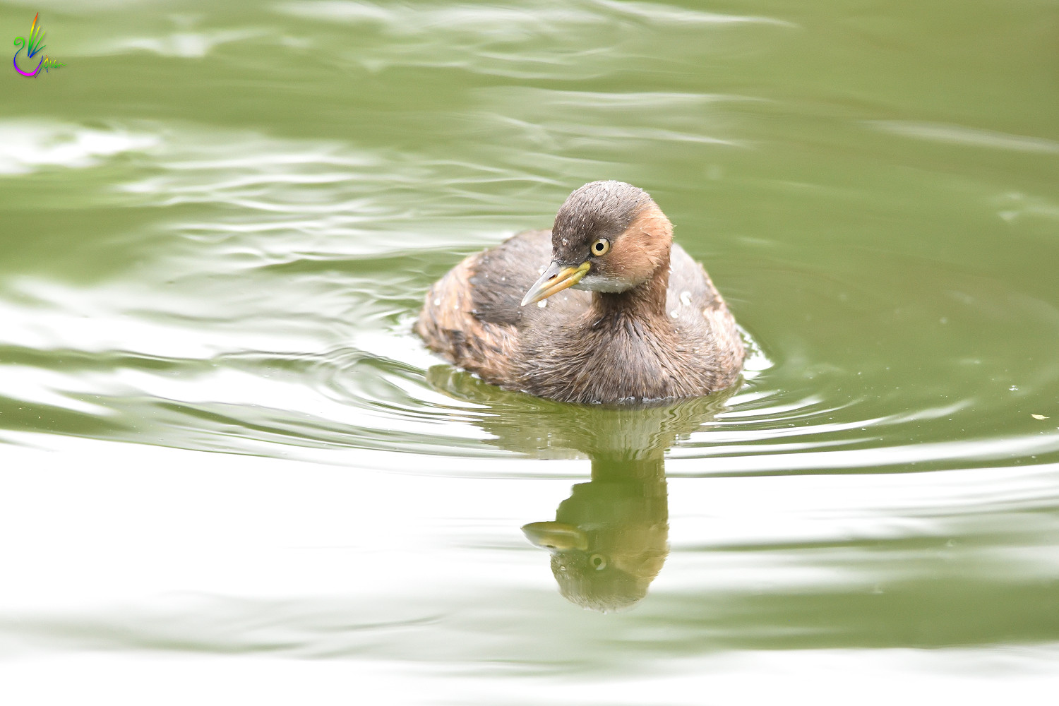 Little_Grebe_5961