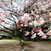 Sakura by KMrT(1800mlph)