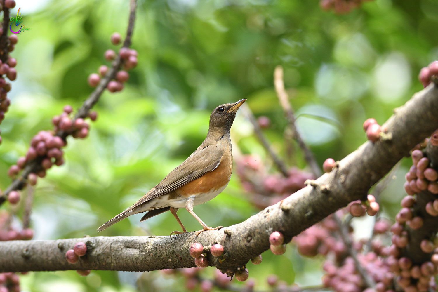Brown_Thrush_6723