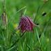 Fritillary - Fritillaria meleagris