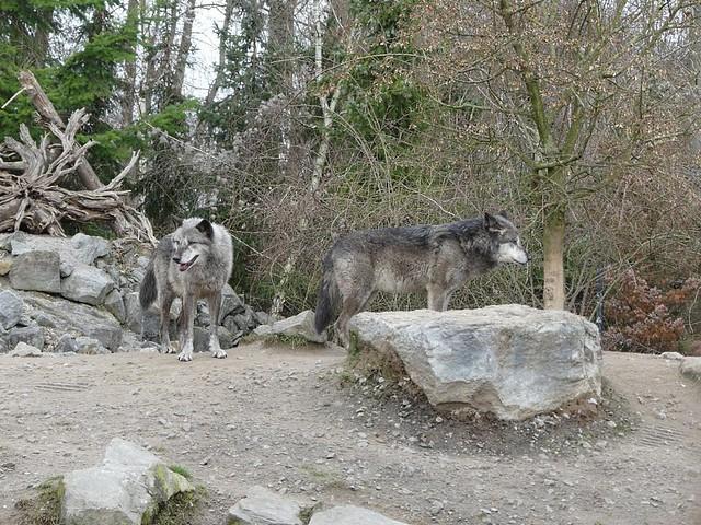 Timberwölfe, Zoo Hannover