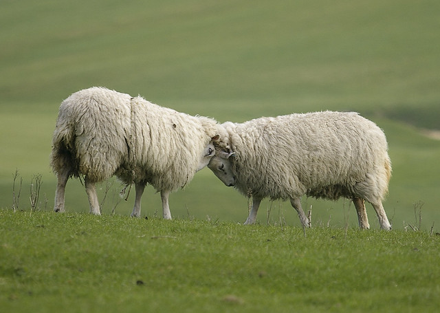 Rams Ramming Heads