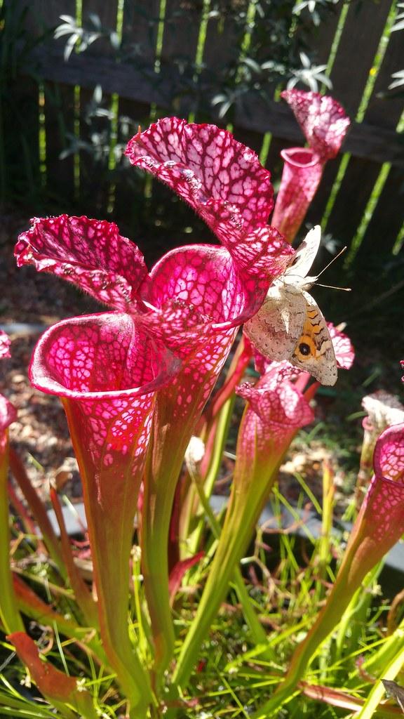 "Sarracenia leucophylla ""Pink English"" with meadow argus butterfly (Junonia villida calybe)"