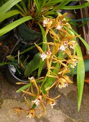 Cymbidium schroederi species orchid