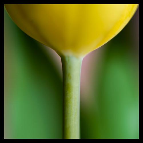 TulipV