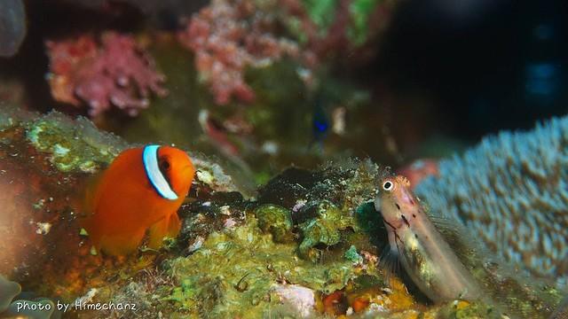 ハマクマノミ幼魚ちゃんとイシガキカエルウオ幼魚ちゃんとアマミスズメダイ幼魚ちゃんが談笑してましたw