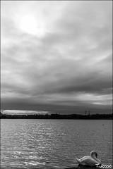 20170226_creteil_Cygne-tuberculé,-paysage