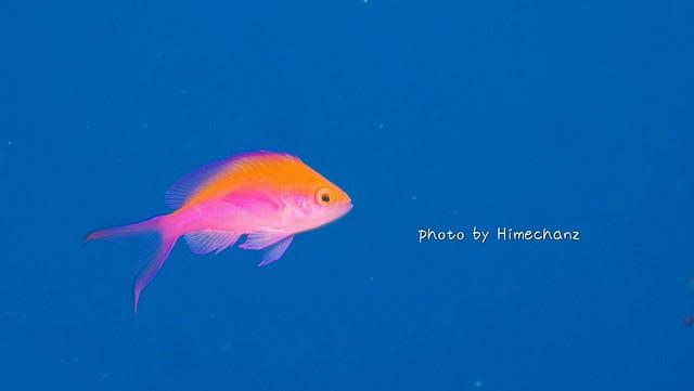 フタイロハナゴイ幼魚ちゃんはお引っ越しされてましたw