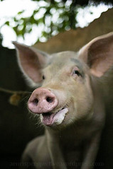 Mother Pig 1