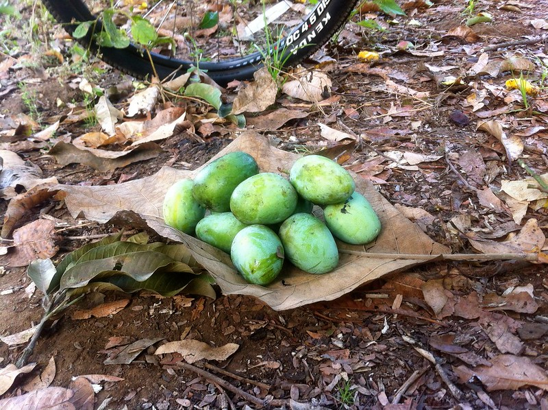 Raw mangoes harvest - Nagle Nature Trail