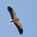 Abutre do Egipto - Neophron percnopterus - Egyptian Vulture
