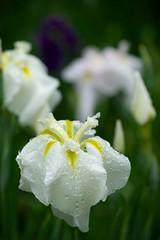 明月院の花菖蒲