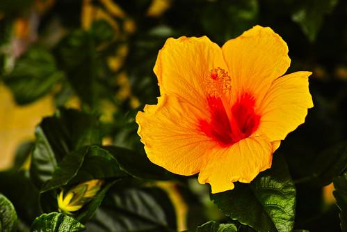 Hibiscus-SDIM0189
