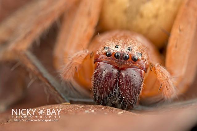 Huntsman Spider (Sparassidae) - DSC_1805