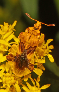 Jagged Ambush Bug - Phymata species, Merrimac Farm Wildlife Management Area, Aden, Virginia