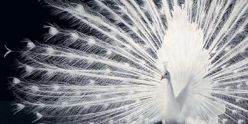 Tim Flach white peacock