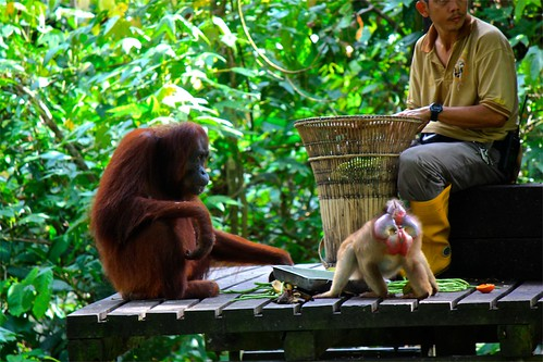 The park ranger making rations… The orangutan looking to make sure he gets his fair share against the monkies (who technically aren't supposed to take part in this feeding)